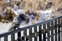 Beautiful pigeon sitting on the fence Royalty Free Stock Photo