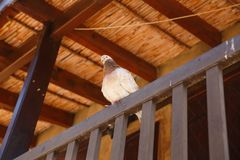 Pigeon. Sitting on the balcony in old Kakopetria village, Cyprus Stock Image