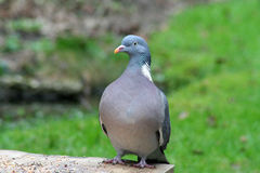 Pigeon sitting on the bird feeder table. With seed Royalty Free Stock Images