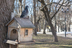 Pigeon sitting on the bird feeder during winter season in park Royalty Free Stock Image