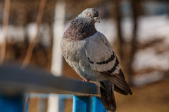 Pigeon sitting on a blue railing Royalty Free Stock Photography