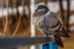 Pigeon sitting on a blue railing Stock Photo