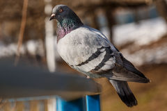 Pigeon sitting on a blue railing Royalty Free Stock Images