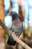 Pigeon. Sitting on a  branch Royalty Free Stock Photo