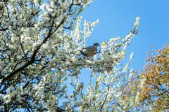Pigeon sitting on branch with flowers of cherry blossom tree. In botanical garden stock photo