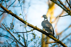 Pigeon sitting on a branch in the forest Stock Photography