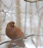 Pigeon sitting on a branch in winter Stock Photos