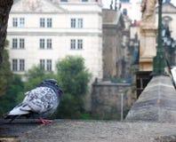 Pigeon sitting on a bridge Royalty Free Stock Photo