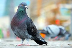 Pigeon sitting on the cobblestone pavement in front of blurry buildings in berlin Royalty Free Stock Image