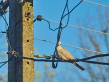 Pigeon sitting on electrical wires royalty free stock images