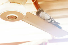 Pigeon sitting on a fan Stock Photography