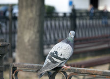 Pigeon sitting on the fence Stock Photo