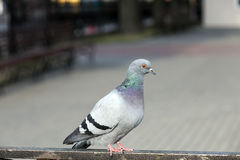 Pigeon sitting on the fence Royalty Free Stock Image