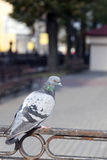 Pigeon sitting on the fence Royalty Free Stock Images