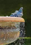 Pigeon sitting on a fountain with fresh water Stock Photos