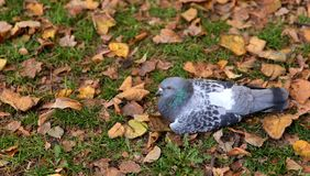 The pigeon is sitting on green grass with yellow leaves stock photography