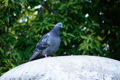 Pigeon sitting on a monument.  Royalty Free Stock Image