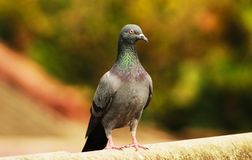 Pigeon sitting over the roof royalty free stock image