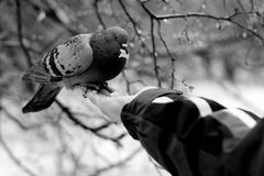 Pigeon sitting on palm and eating bread crumbs Royalty Free Stock Images