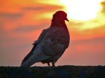 Pigeon sitting on parapet Stock Photo