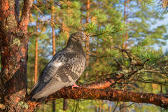 Pigeon sitting on a pine tree Royalty Free Stock Images