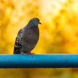 Pigeon sitting on a pipe Stock Photos