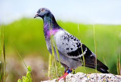 Pigeon sitting on rock Stock Photos