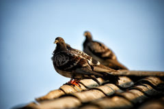 Pigeon sitting on the roof Royalty Free Stock Photography