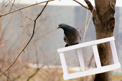 Pigeon sitting on the roof of the trough.  Royalty Free Stock Image