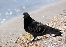Pigeon sitting at seaside Royalty Free Stock Photography
