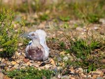 Pigeon. Royalty Free Stock Photo