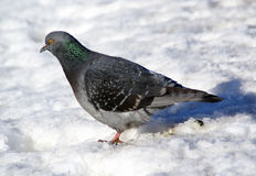 Pigeon sitting on snow Royalty Free Stock Photos