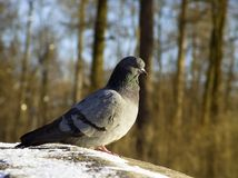 Pigeon sitting in the sun. The spring has come royalty free stock photo