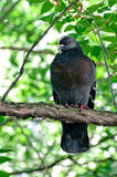 Pigeon sitting on tree branch Royalty Free Stock Images