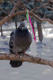 Pigeon. A pigeon sitting on a twig Stock Photo