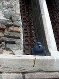 Pigeon Sitting in Window Stock Images