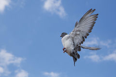Pigeon in the sky. Dove in the sky Royalty Free Stock Photos