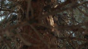 Pigeon Sleeping On Tree. Spruce wild dove bird pine branch stock video footage