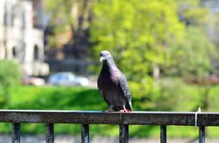 The pigeon. Is a smart bird Royalty Free Stock Photos