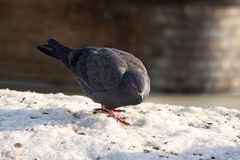 Pigeon on snow Royalty Free Stock Photo