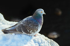 Pigeon at the snow Royalty Free Stock Photography