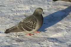 Pigeon in the snow Royalty Free Stock Photo