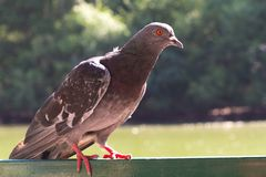 Pigeon solitaire images stock