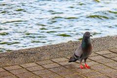 pigeon sous le pont de Rama VIII Image stock