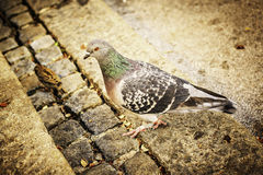 Pigeon and sparrow Stock Photography