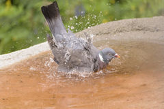 Pigeon Splashes, drops of water Stock Photo