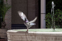 Pigeon spreading wings on a fountain with fresh water Royalty Free Stock Photo