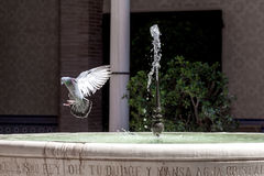 Pigeon spreading wings on a fountain with fresh water.  Royalty Free Stock Images