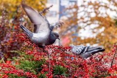 Pigeon in the spring stock photo