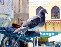 Pigeon in Square. Pigeon perched on fountain in Greece stock photo